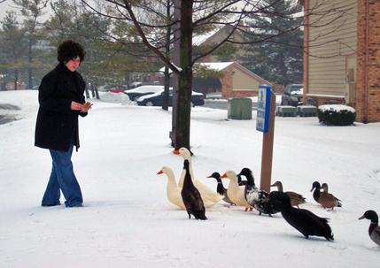 Breain_snow_ducks_1